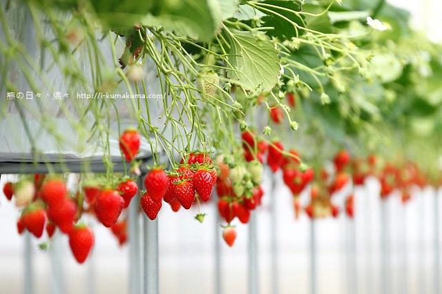 市野園芸採草莓-9740