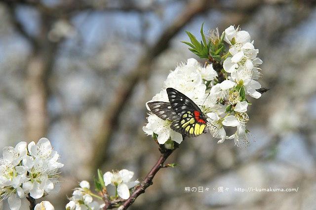 苗栗石鎮里李花-6887
