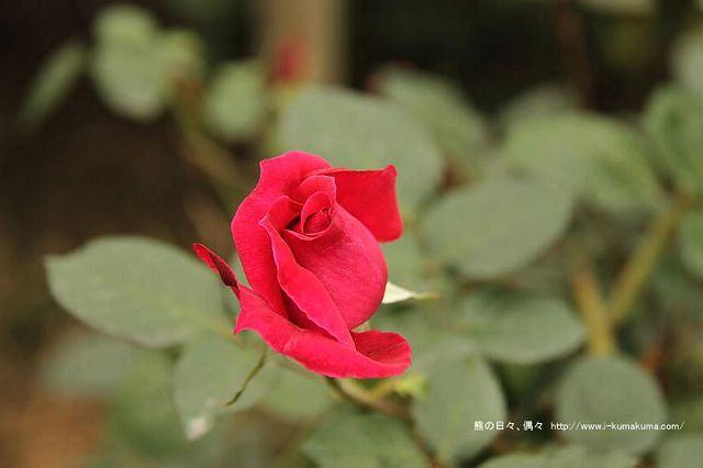 雲林虎尾自助式玫瑰花園-5259