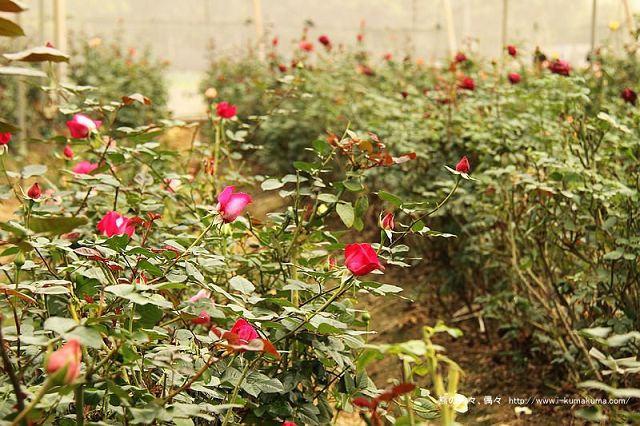 雲林虎尾自助式玫瑰花園-5434
