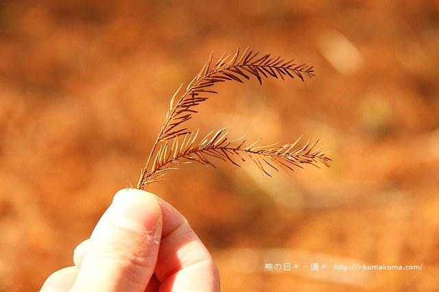 雲林桂林村落羽松-IMG_9881