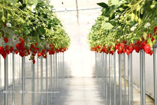 市野園芸採草莓-9836