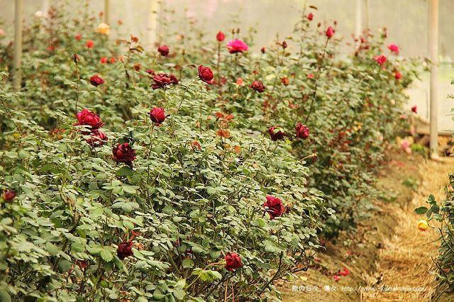 雲林虎尾自助式玫瑰花園-5429