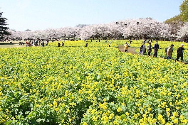 國營昭和紀念公園櫻花-6697