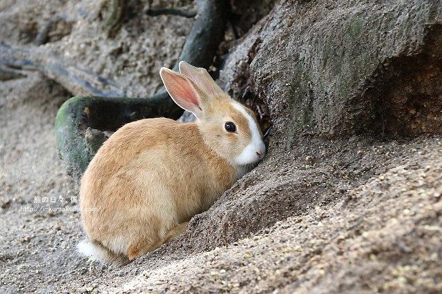 廣島大久野島(兔島)-K24A2305