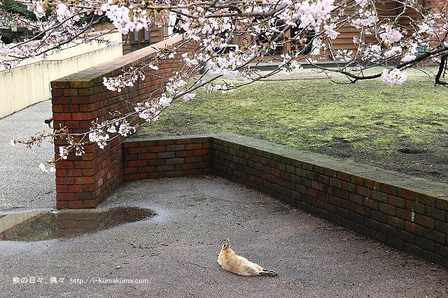 廣島大久野島(兔島)-K24A1532