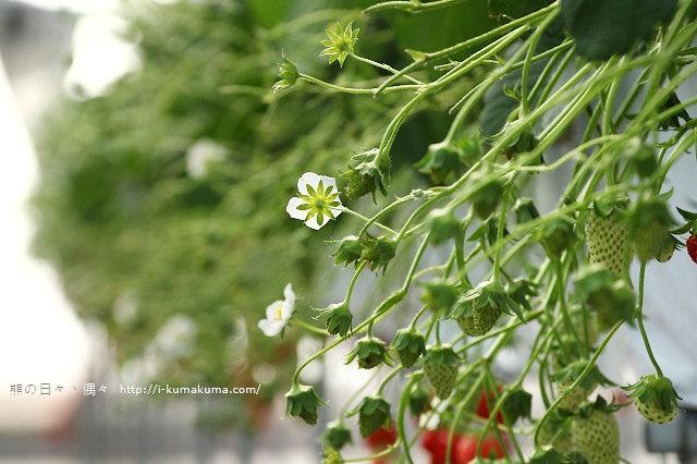 市野園芸採草莓-9774