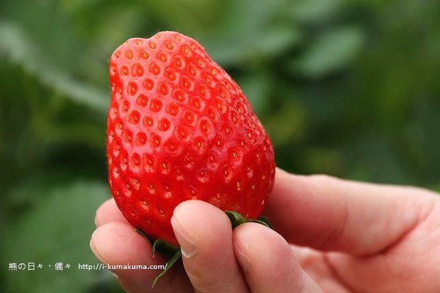 市野園芸採草莓-9674