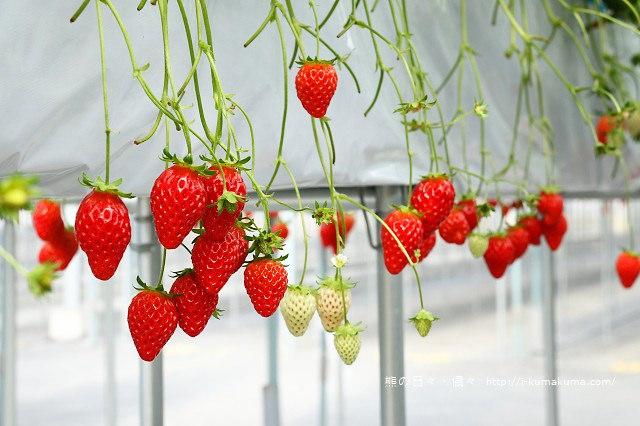 市野園芸採草莓-9757