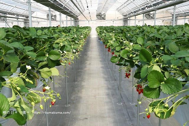 市野園芸採草莓-9778