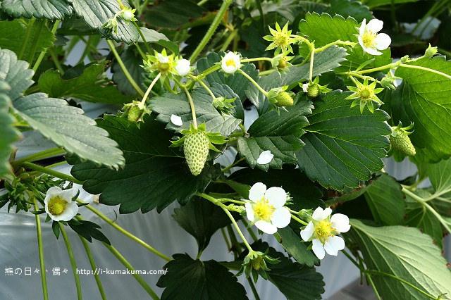 市野園芸採草莓-9747