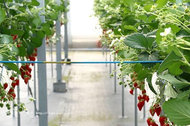 市野園芸採草莓-9765
