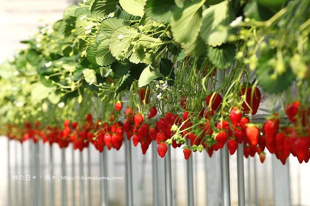 市野園芸採草莓-9844