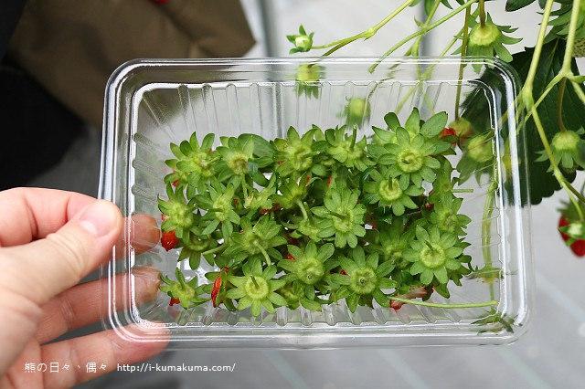 市野園芸採草莓-9681