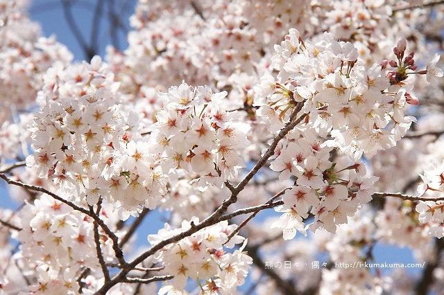 國營昭和紀念公園櫻花-6485