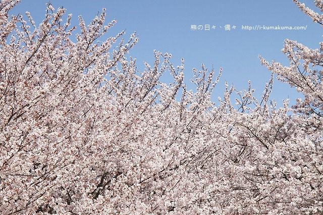 國營昭和紀念公園櫻花-6976