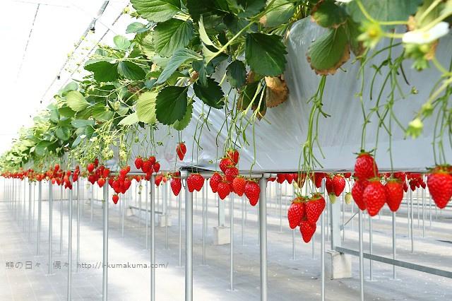 市野園芸採草莓-9785