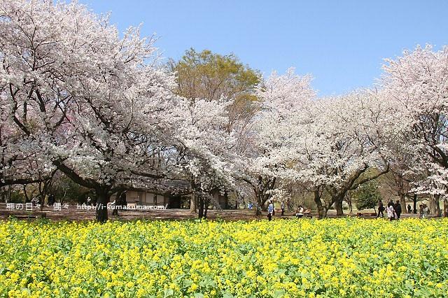 國營昭和紀念公園櫻花-6743