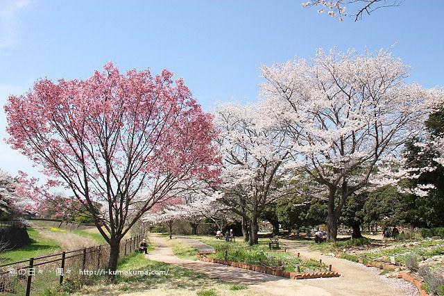 國營昭和紀念公園櫻花-6476