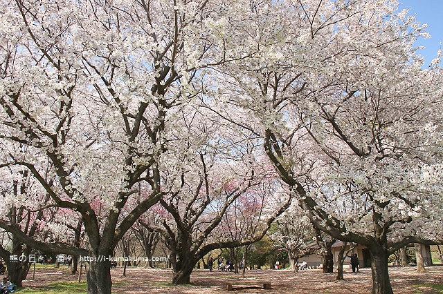 國營昭和紀念公園櫻花-6752
