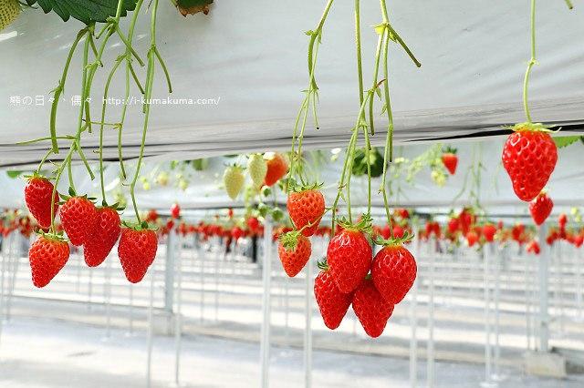 市野園芸採草莓-9807