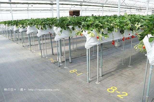 市野園芸採草莓-9763