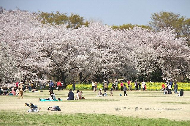 國營昭和紀念公園櫻花-7064