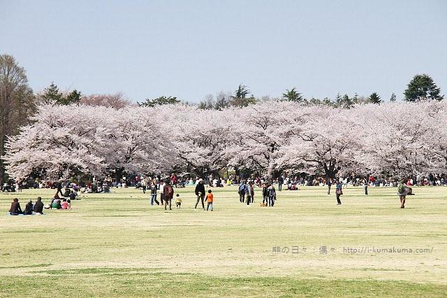國營昭和紀念公園櫻花-6510
