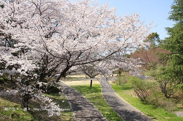 國營昭和紀念公園櫻花-6490