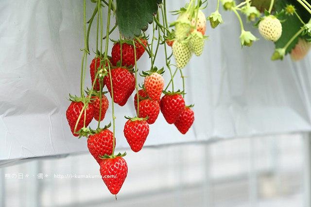 市野園芸採草莓-9693