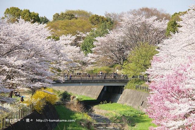 國營昭和紀念公園櫻花-7216