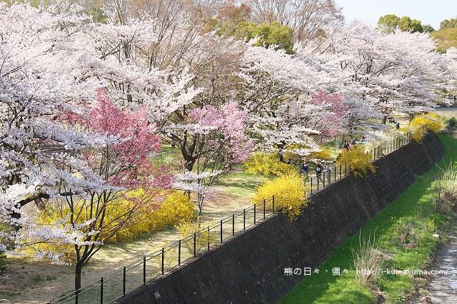 國營昭和紀念公園櫻花-7210