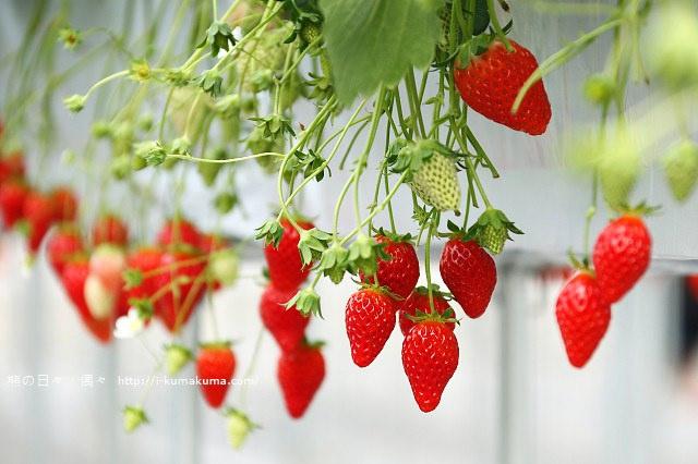 市野園芸採草莓-9695