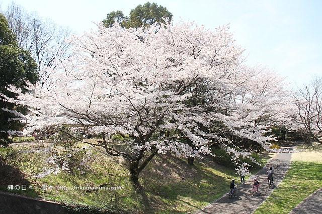 國營昭和紀念公園櫻花-6501