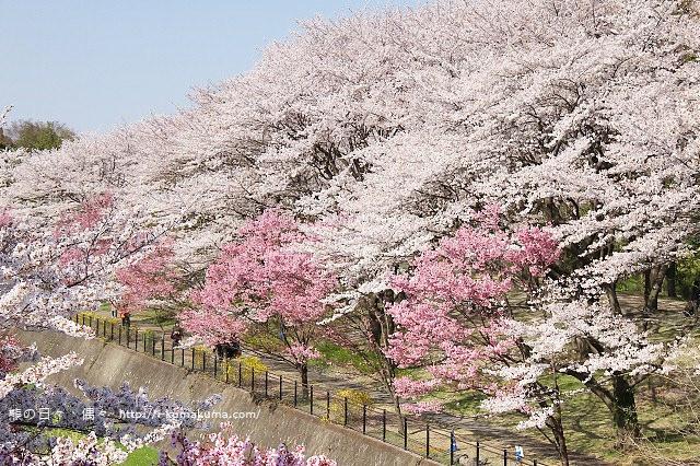 國營昭和紀念公園櫻花-7181