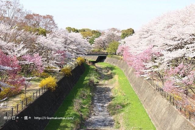 國營昭和紀念公園櫻花-7193