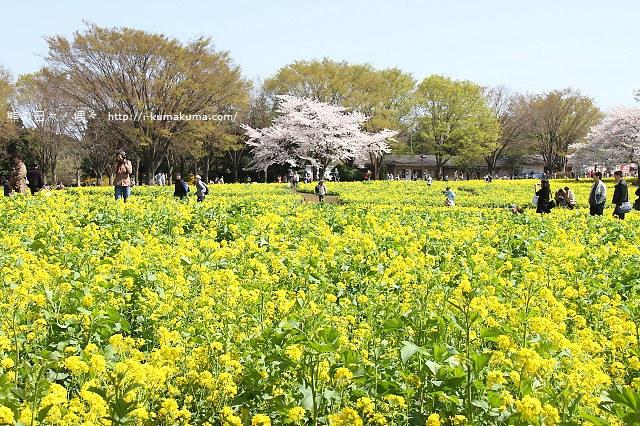 國營昭和紀念公園櫻花-6762