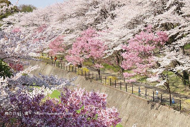 國營昭和紀念公園櫻花-7179