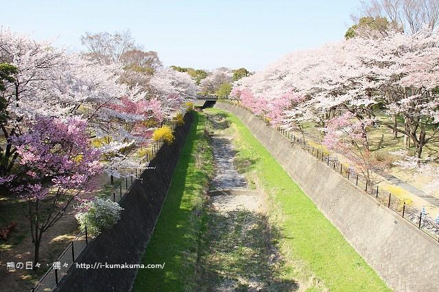國營昭和紀念公園櫻花-7182
