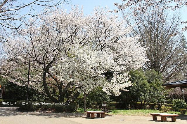 國營昭和紀念公園櫻花-6330