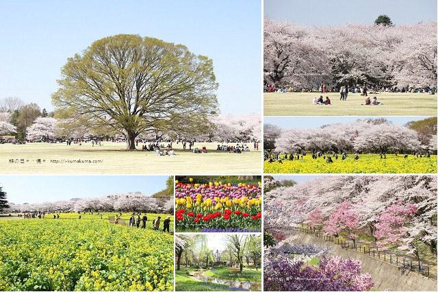 國營昭和紀念公園櫻花-6301