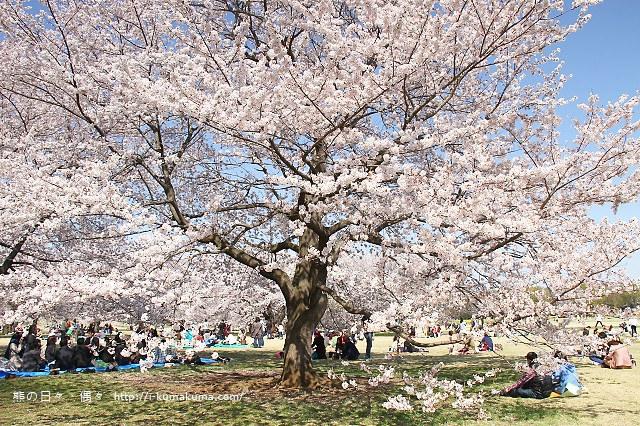 國營昭和紀念公園櫻花-7000