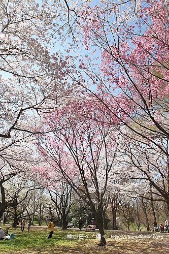 國營昭和紀念公園櫻花-6797