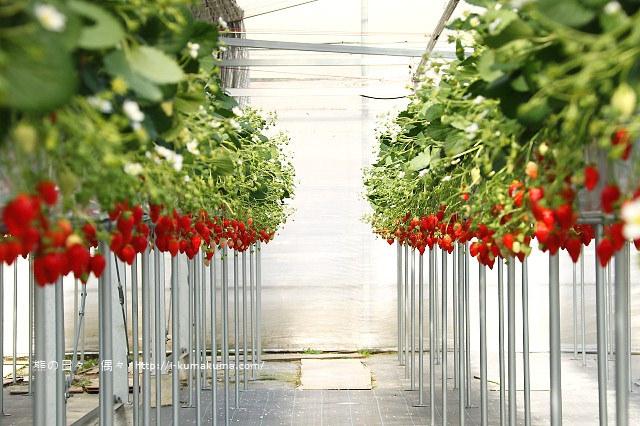 市野園芸採草莓-9825