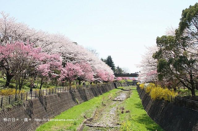 國營昭和紀念公園櫻花-6365