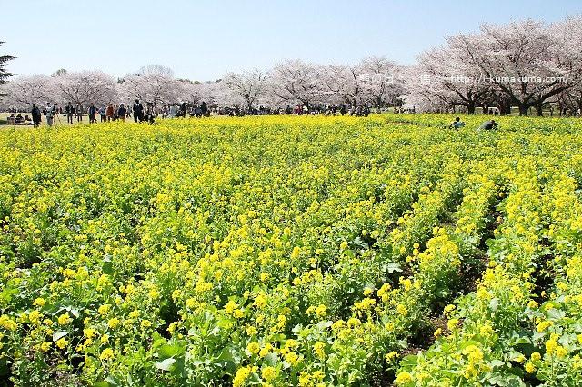 國營昭和紀念公園櫻花-6723