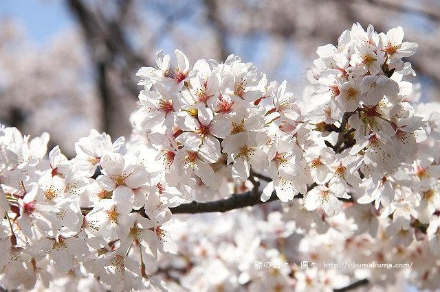 國營昭和紀念公園櫻花-6419