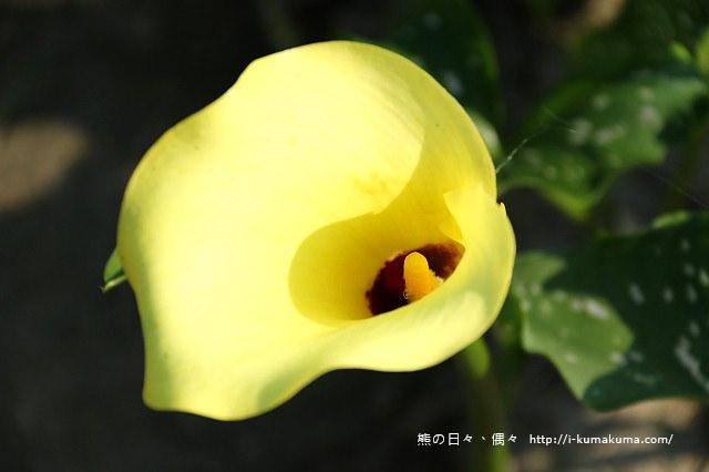 台中外埔黃色海芋田-5752