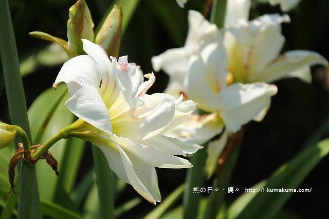 雲林四湖長春園藝孤挺花園-5422