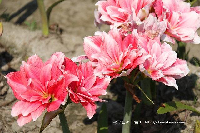 雲林四湖長春園藝孤挺花園-5505